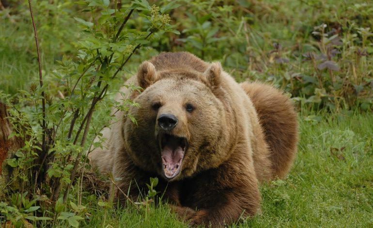 Jandarmii, în luptă cu urșii